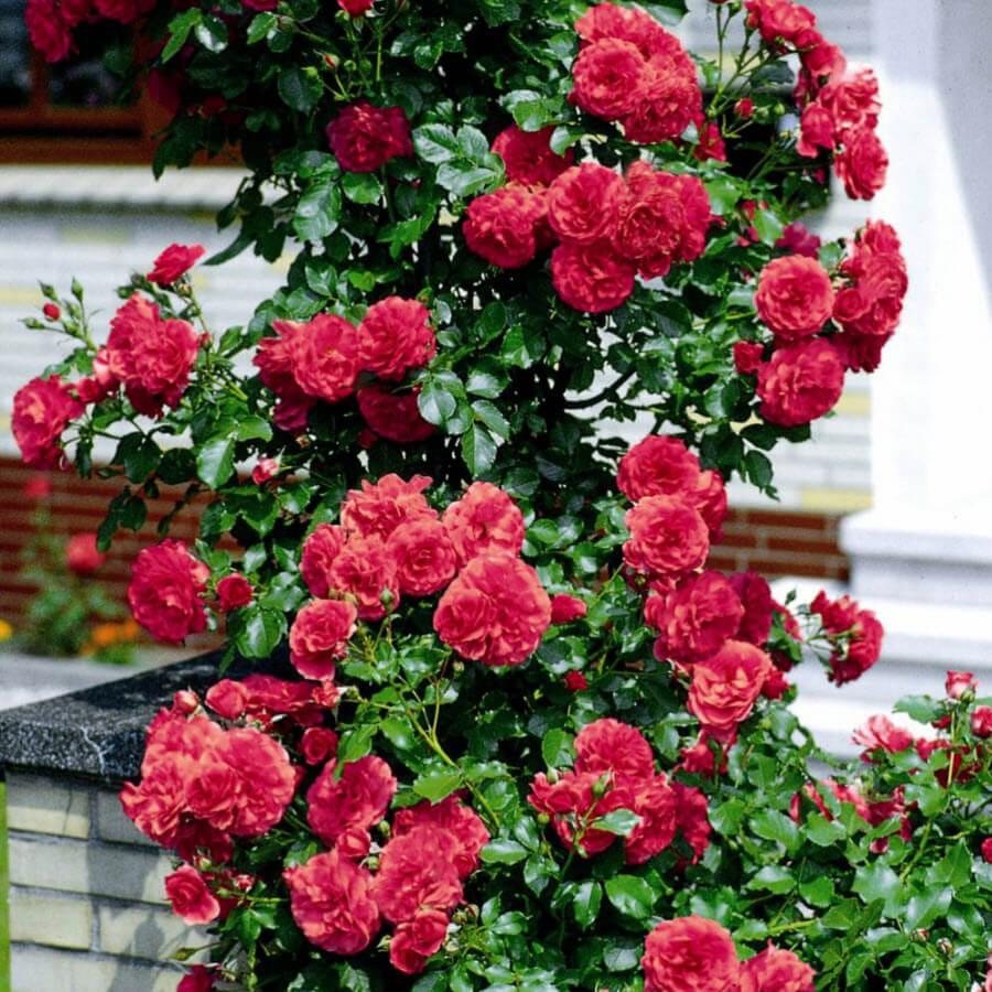 мерит сорта немахровых плетистых роз фото самостоятельном туре