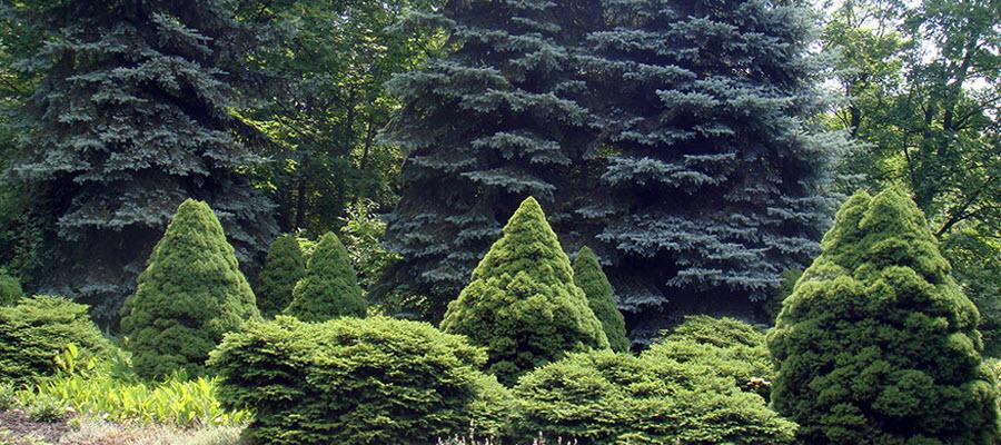 Виды елей, и ее садовые формы и сорта