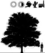 Деревья с очень крупными листьями