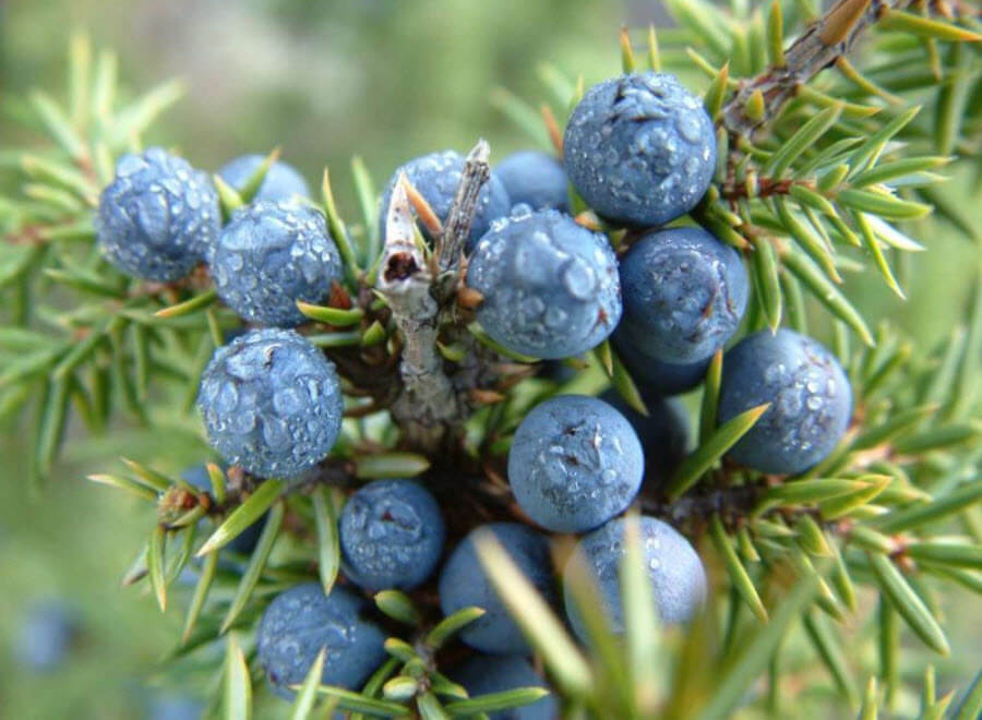 Можжевельник (Juniperus) фото